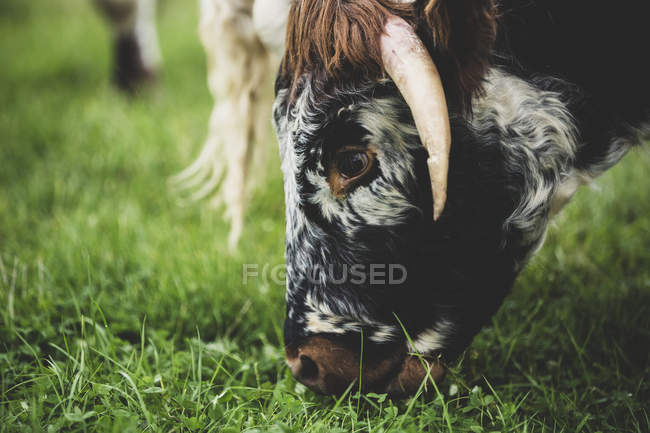 Gros plan sur le pâturage de la vache à corne longue anglaise dans un pâturage herbeux . — Photo de stock