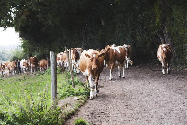 Herde von Guernsey-Kühen wird über Landstraße getrieben. — Stockfoto