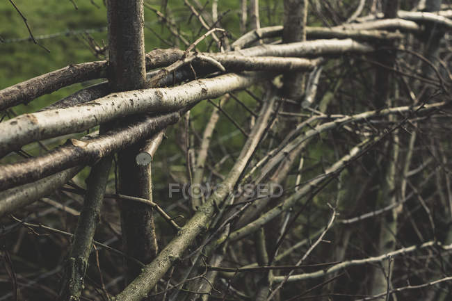 Close-up of traditional hedge made with interwoven pleachers. — Stock Photo