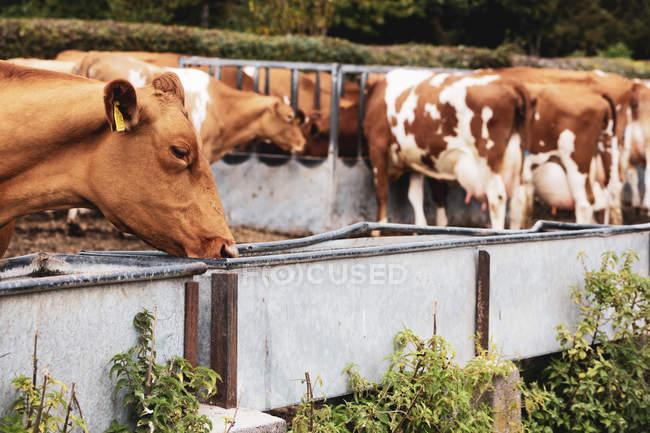 Rebaño de piebald rojo y blanco Guernsey vacas en pastos, comiendo de la vaguada de metal. - foto de stock