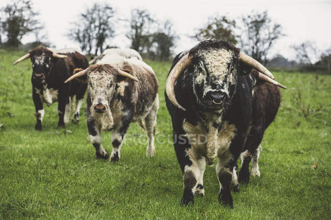 Inglés Longhorn cows and bull standing on pasture, looking in camera . - foto de stock