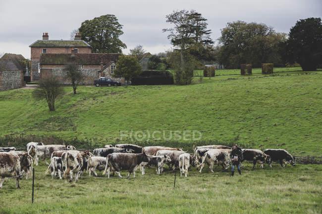 Manada de vacas Longhorn inglesas pastando en pastos herbáceos . - foto de stock