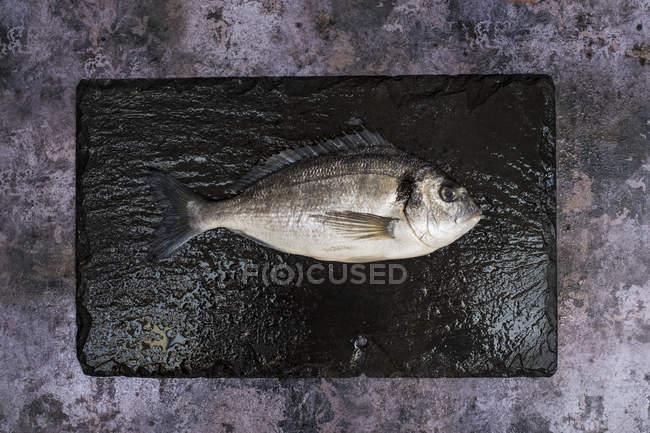 Vista superior de único peixe brema do mar fresco na ardósia preta . — Fotografia de Stock