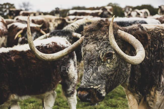 Manada de vacas Longhorn inglesas de pie en el pasto . - foto de stock