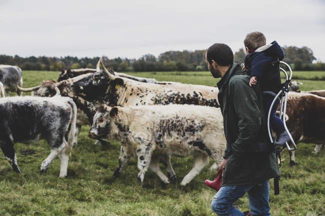 Hombre que lleva a un niño mientras camina en pastos con vacas Longhorn inglesas. - foto de stock