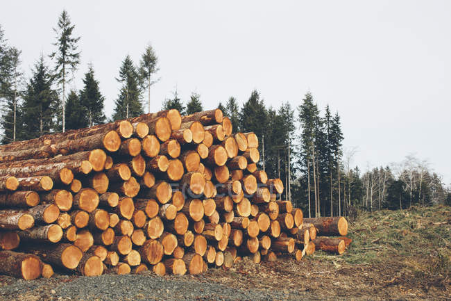 Stack of freshly logged spruces, hemlocks and firs trees — Stock Photo