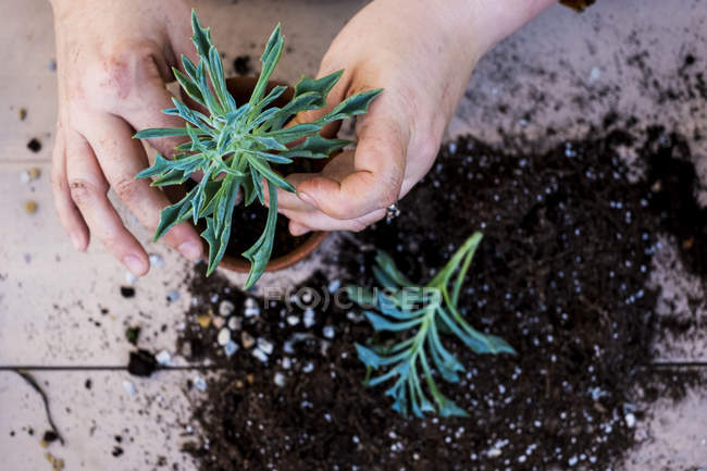 High angle close-up of person planting succulents in potting soil in terracotta pot. — Stock Photo