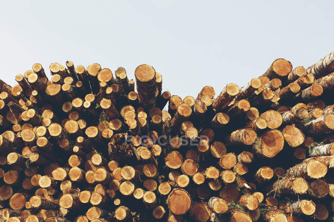 Stacked logs of freshly logged spruces, hemlocks and fir trees — Stock Photo