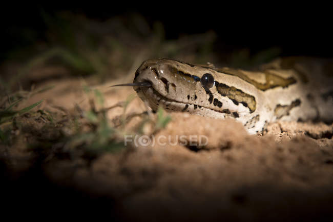 African python lit up by spotlight with tongue out — Stock Photo