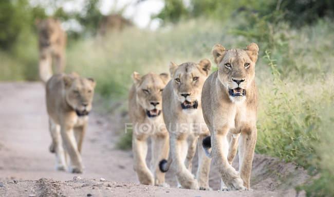 Orgulho de leões andando em linha para baixo estrada arenosa ladeada por grama verde com bocas abertas — Fotografia de Stock