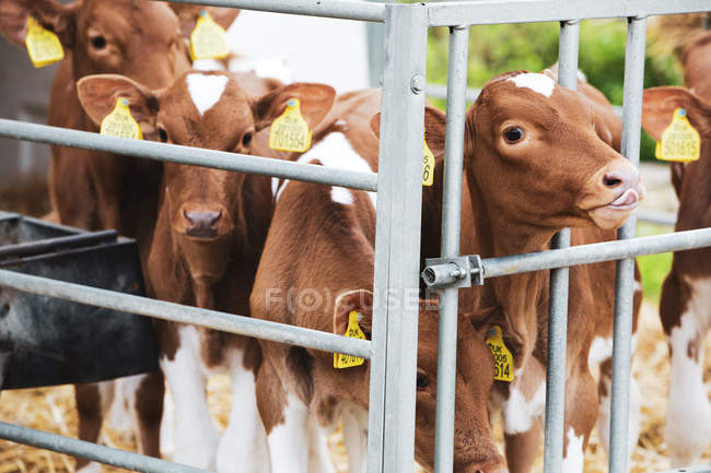 Gruppe von Guernsey-Kälbern im Metallstall auf einem Bauernhof. — Stockfoto