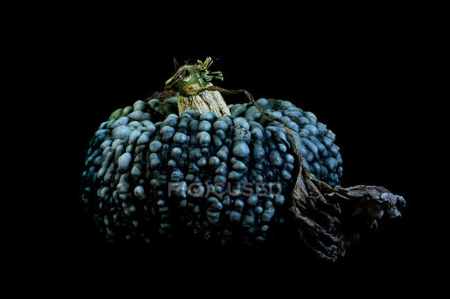 Close-up of knobbly blue pumpkin on black background. — Stock Photo