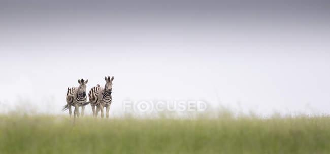 Duas zebras caminhando em grama verde com horizonte claro — Fotografia de Stock