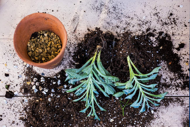 Top view of terracotta pot with gravel and succulent plants with soil attached to roots on table. — Stock Photo