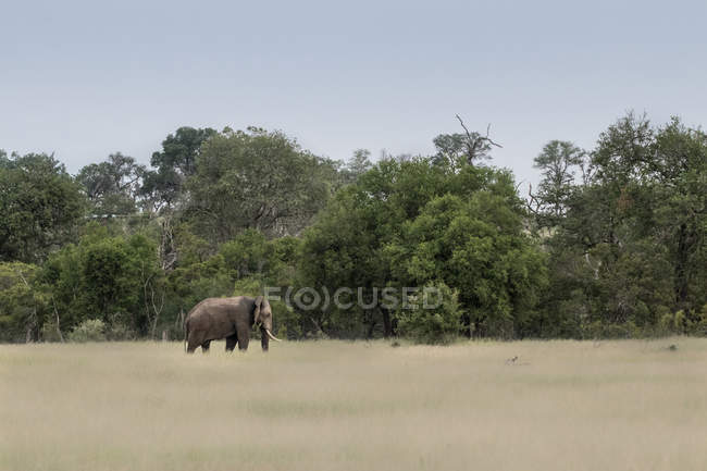 Elephant bull walking through brown-green grass in Greater Kruger National Park, Africa — Stock Photo