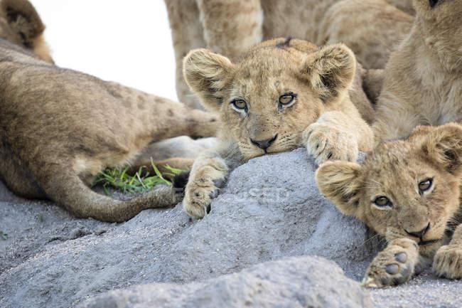 Löwenjungen liegen zusammen auf Termitenhügel in Afrika. — Stockfoto