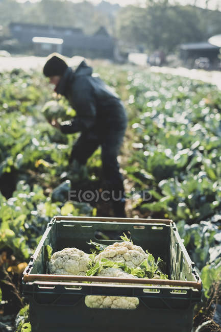 Woman standing in field and harvesting cauliflowers. — Stock Photo