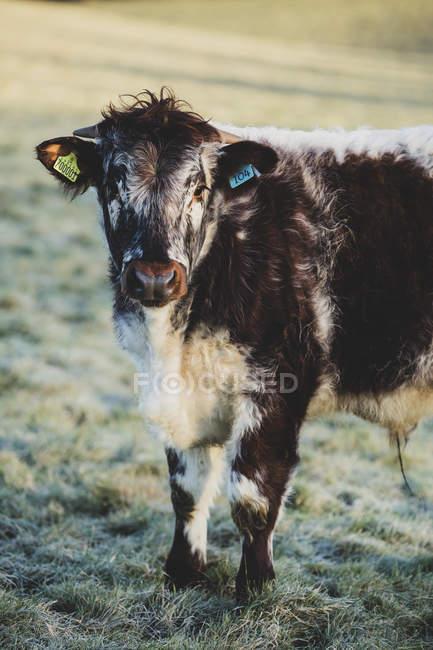 Англійська Довгон теля стоячи на пасовищі, дивлячись у камеру. — стокове фото