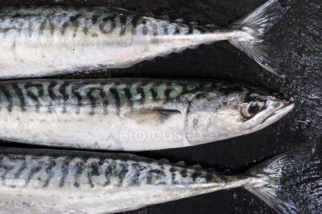 Großaufnahme von drei frischen Makrelenfischen. — Stockfoto