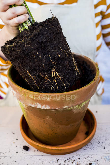Close-up of person removing plant with soil attached to roots from terracotta pot. — Stock Photo