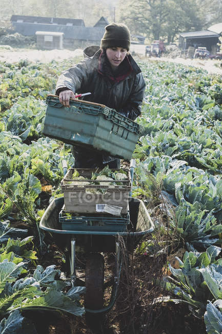 Woman standing in field, carrying plastic crate and harvesting cauliflowers. — Stock Photo