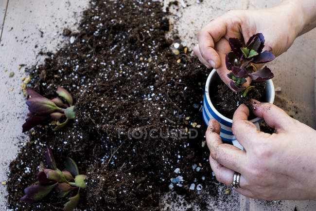 Close-up of person planting succulent in potting soil in coffee mug, succulent plants with soil attached to roots on table. — Stock Photo