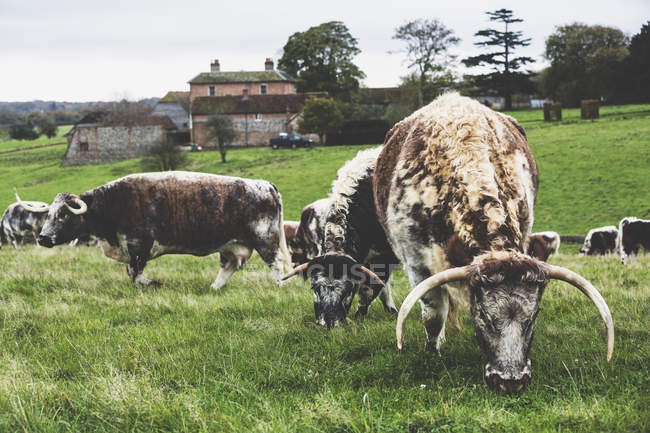 Herde englischer Langhorn-Kühe weidet auf der grünen Weide. — Stockfoto