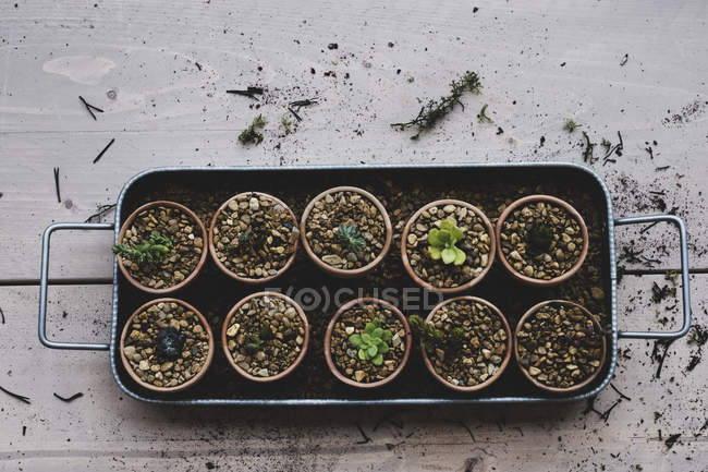 High angle close-up of tray with succulents planted in gravel in terracotta pots. — Stock Photo