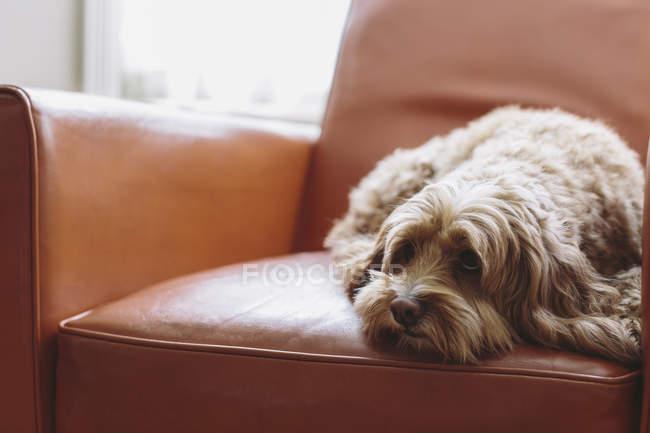 Cockapoo misto cão de raça com casaco marrom encaracolado deitado na cadeira de couro marrom . — Fotografia de Stock