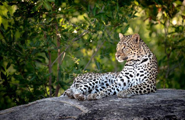 Леопард, лежащий на валуне с зеленым растительным фоном — стоковое фото