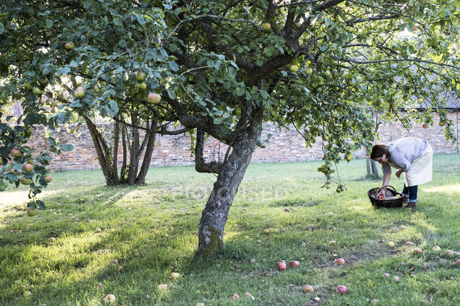 Woman in apron holding brown wicker basket, picking up windfall apples from ground. — Stock Photo
