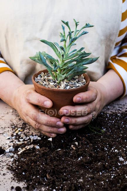 Gros plan de la personne mains tenant pot en terre cuite avec succulent . — Photo de stock