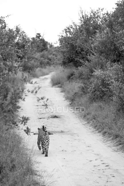 Leopardo caminhando na estrada com arbustos selvagens da África paisagem, imagem em preto e branco — Fotografia de Stock