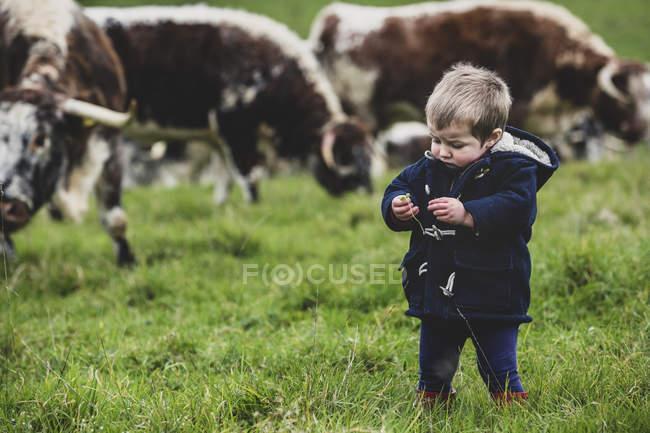 Niño pequeño de pie en el pasto con vacas Longhorn Inglés en el fondo . - foto de stock