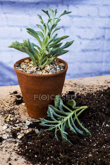 Close-up of terracotta pot with succulent and plants with soil attached to roots on table. — Stock Photo