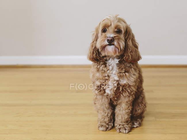Кокапу смешанной породы собака с коричневым курчавым пальто глядя в камеру в помещении — стоковое фото