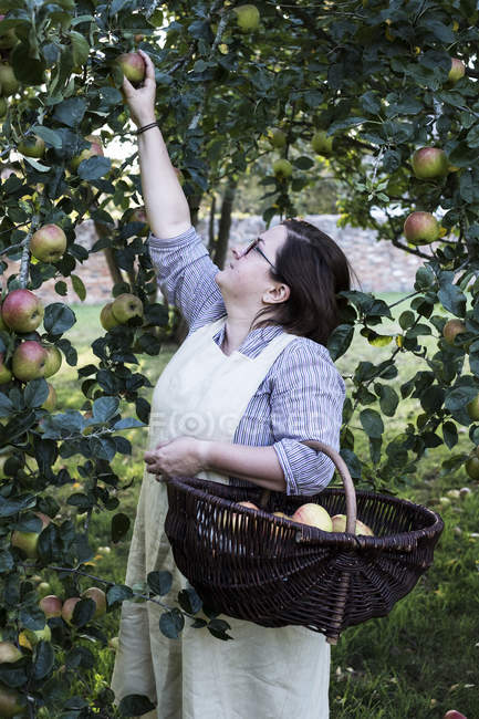 Woman in apron holding brown wicker basket, picking apples from tree. — Stock Photo