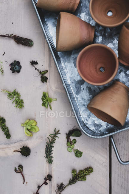 Top view of selection of small succulents and terracotta pots on metal tray. — Stock Photo