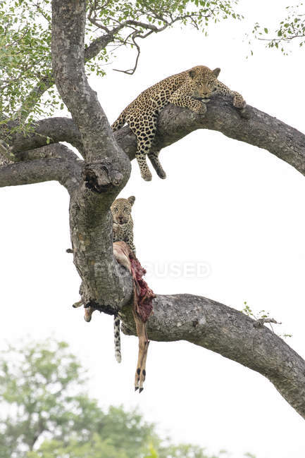 Female leopard and cub lying on tree branches with impala prey — Stock Photo