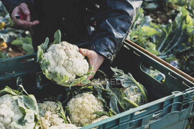 Close-up of person holding freshly harvested cauliflower. — Stock Photo