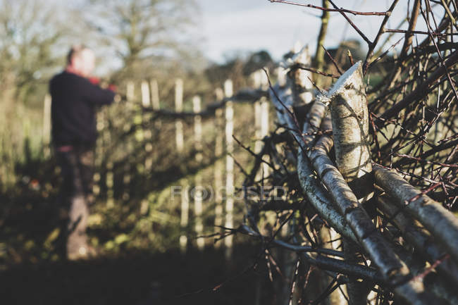 Close-up of newly built traditional hedge and man working in background. — Stock Photo