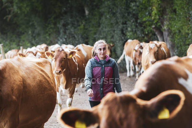 Young woman driving herd of Guernsey cows along rural road. — стокове фото
