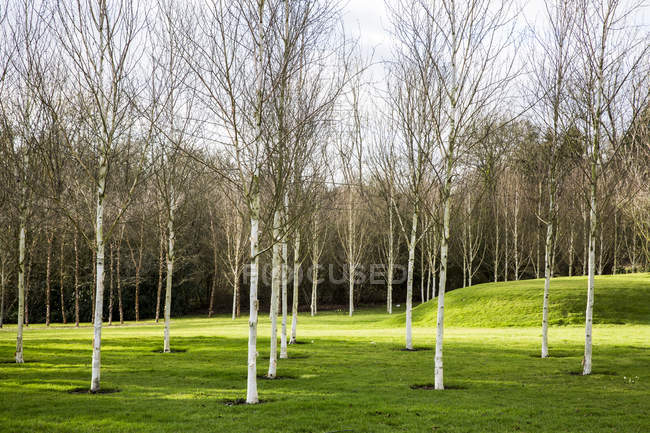 Garden in spring with white birch trees with pale trunks in grass in Amersham, Buckinghamshire, England — Stock Photo