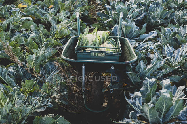 High angle view of plastic crate with freshly harvested cauliflower in wheelbarrow. — Stock Photo