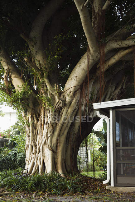 Huge tree trunk and dense foliage growing close to porch of country house. — Stock Photo