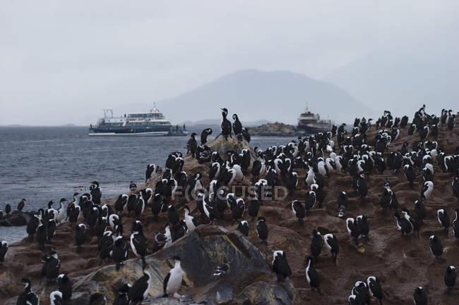 Колония бакланов на острове в канале Бигл в Ушуайе, Аргентина. — стоковое фото