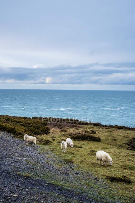 Ovejas pastando en lo alto de un acantilado a lo largo de la costa del Parque Nacional pembrokeshire, Gales, Reino Unido. - foto de stock