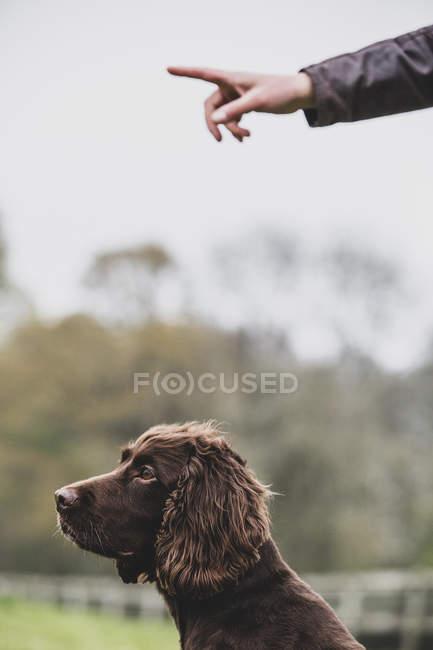 Pessoa de pé ao ar livre e dando ordem de mão para cão Brown Spaniel . — Fotografia de Stock