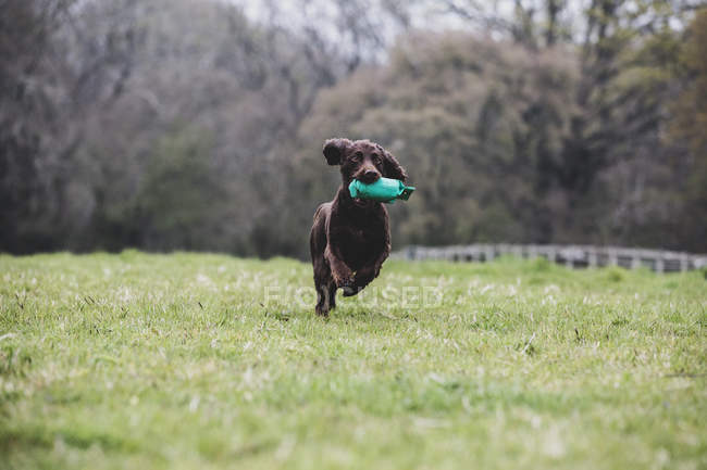 Brown Spaniel dog running across field and retrieving green toy. — Stock Photo