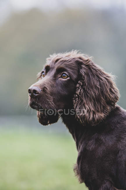 Close-up of brown Spaniel dog sitting in field. — Stock Photo